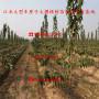 矮化丽珠大樱桃树苗批发价格、矮化丽珠大樱桃树苗价格多少