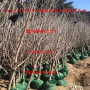 矮化龍冠二號櫻桃樹苗又大又好吃的品種、大青葉矮化龍冠二號櫻桃樹苗又大又好吃的品種