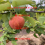 黄金梨树苗批发报价、黄金梨树苗发货流程