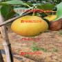 柱状梨二号梨树苗1公分出售、柱状梨二号梨树苗今年出售