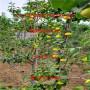 黄金梨树苗出售基地、黄金梨树苗行情出售
