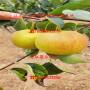 玉露香梨树苗1公分出售、玉露香梨树苗批发