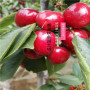 六枝特區黑珍珠櫻桃苗新價
