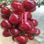 閻良區紅燈櫻桃苗目前全國好的樹苗品種