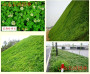 頭條 朔州太原市綠化草坪草種子6
