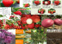 晚熟桃树在安徽芜湖_价格受农户欢迎