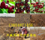 浙江臺州賣的牛奶草莓苗附近哪里有賣的