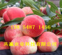 果树:湖北鄂州2-3年9月成熟桃苗品种介绍-共赢农业