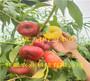 哪有—河北邢台5月成熟桃苗种植技术
