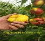 哪有—山西晉中6月成熟桃苗種植介紹