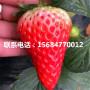 山东土特拉草莓苗、土特拉草莓苗哪里有卖