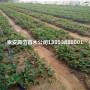 新闻:美香莎草莓苗批发价格、美香莎草莓苗