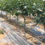 梨树苗供应商、爱宕梨树苗培育基地