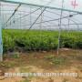 藍豐藍莓苗出售價格、藍莓苗多少錢一棵