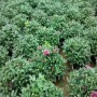 种子销售庐山市金钱槭种子价格哪里便宜