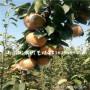 新闻:全红梨树苗卖多少钱一棵(日喀则)