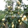新闻:丑梨树苗报价多少钱一棵(玉树)