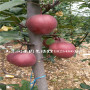 新闻:中梨 梨苗单果重量(呼伦贝尔)