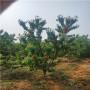 咨询:亳州特早红樱桃苗、特早红樱桃苗销售基地