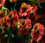想打听波斯菊种子一斤的价格