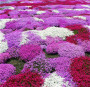 建議千日紫種子購買一批什么價格