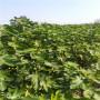 大青皮无花果苗品种哪里便宜吐鲁番