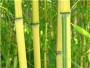 河南郑州新郑3米高金镶玉竹苗木市场