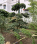 駐馬店小葉女貞造型綠化苗木萬畝基地