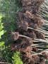濟南3公分剛竹市政園林綠化