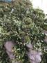 潢川红叶石楠——偃师红叶石楠苗木种植苗木报价