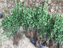 潢川大葉黃楊——河南民權大葉黃楊園林綠化樹木