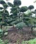 卫滨小叶女贞造型园林