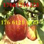四川德阳早熟苹果树苗~~现货销售13854871456