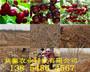 山西運城杏李子樹苗哪里有賣的