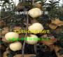 基地—四川乐山早熟苹果树哪里有出售的