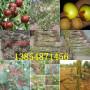 新品種嫁接桃樹苗江西上饒基地賣價