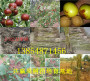 批发:浙江丽水卖的李子树苗有发展前景吗