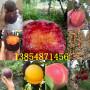 產區:浙江臺州車厘子櫻桃樹基地送貨價格
