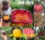 2-3年秋月梨樹哪里青海海北州才賣_一畝土地種植多少棵