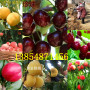 批發:廣東河源賣的美國大櫻桃樹種植基地報價