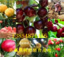 批发:广东广州卖的新梨七号梨树一亩土地种植多少棵