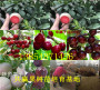 果树:阿里地卖的晚秋梨树种植基地报价