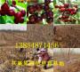 供应_四川广安卖的全红梨树有发展前景吗