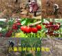 批發:四川雅安賣的矮化櫻桃樹基地賣價