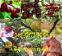 2-3年黑珍珠櫻桃樹哪里湖北十堰才賣_種植基地報價