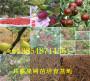 供應_遼寧遼陽賣的新品種李子樹苗花多少錢買一棵