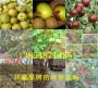 新闻:四川阿坝州这里卖太空草莓苗种植基地报价