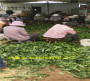 晚熟桃樹苗在湖南邵陽哪里有出售的@共贏農業基地