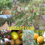 哪有—新疆哈密全红梨树亩产多少斤【共赢】农业