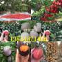 哪有—安徽宣城黑珍珠櫻桃樹新品種種植介紹【共贏】農業
